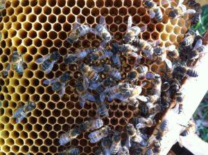Reine ruche 4